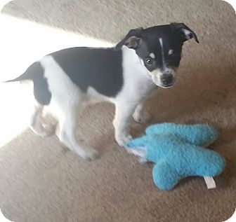 Terrier (Unknown Type, Small)/Papillon Mix Puppy for adoption in Gustine, California - DALE