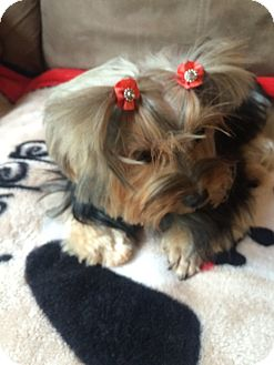 Yorkie, Yorkshire Terrier Dog for adoption in Naples, Florida - Molly/Nina