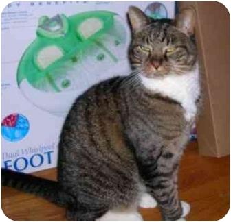 Domestic Shorthair Cat for adoption in Cranston, Rhode Island - Casey - URGENT !