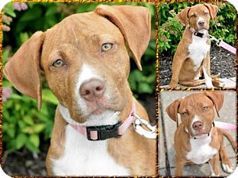 Vizsla Mix Puppy for adoption in Newburgh, Indiana - Ginger