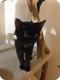 Domestic Shorthair Kitten for adoption in Columbus, Ohio - Bibs
