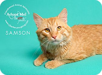 Domestic Shorthair Cat for adoption in Friendswood, Texas - Samson