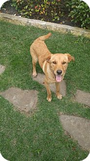 Golden Retriever Mix Puppy for adoption in San Francisco, California - Laurel