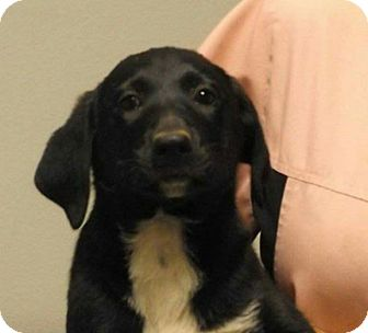Labrador Retriever Mix Puppy for adoption in springtown, Texas - Willow
