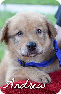 Pharaoh Hound/Labrador Retriever Mix Puppy for adoption in DFW, Texas - Andrew