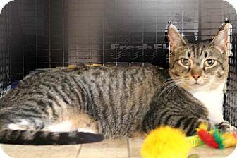 Domestic Mediumhair Cat for adoption in Walnut Creek, California - Tina