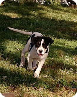 Catahoula Leopard Dog/Border Collie Mix Puppy for adoption in Macomb, Illinois - Xena