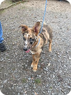 Catahoula Leopard Dog/Australian Shepherd Mix Puppy for adoption in Cranford, New Jersey - Wylie