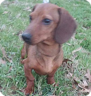 Dachshund Dog for adoption in Anderson, South Carolina - oscar