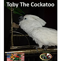 Adopt A Pet :: Toby One Loving Cockatoo - Vancouver, WA