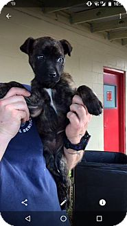 Boxer/German Shepherd Dog Mix Puppy for adoption in knoxville, Tennessee - Hattie Belle