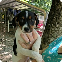 Adopt A Pet :: Ollie - Hohenwald, TN