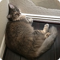 Domestic Longhair Cat for adoption in Pearland, Texas - PurrSephone