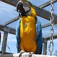 Macaw for adoption in Elizabeth, Colorado - Tony