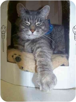 Domestic Shorthair Cat for adoption in Cold Lake, Alberta - Friskie