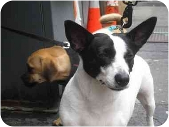 Jack Russell Terrier Dog for adoption in Long Beach, New York - Sweet Pea