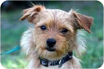 Cairn Terrier Mix Dog for adoption in West Los Angeles, California - Ted