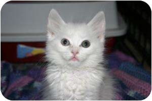Turkish Angora Kitten for adoption in Tracy, California - Willow-ADOPTED!