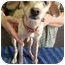 Photo 1 - Chihuahua Mix Dog for adoption in Spring Valley, New York - Sugar Baby (REDUCED)