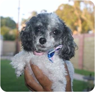 Poodle (Toy or Tea Cup) Dog for adoption in Santa Ana, California - Jelly-Belly