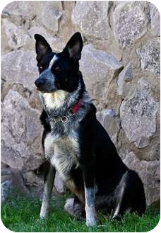 Australian Cattle Dog/Border Collie Mix Dog for adoption in Alamogordo, New Mexico - Phoebe