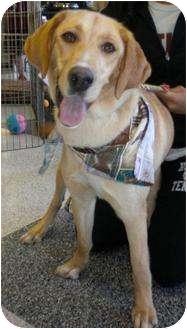 Labrador Retriever/Collie Mix Dog for adoption in Humble, Texas - Josie