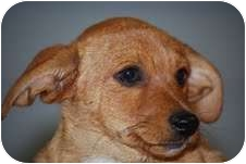 Dachshund/Chihuahua Mix Puppy for adoption in Cranford, New Jersey - Maytag