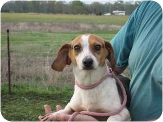 Beagle Dog for adoption in Salem, New Hampshire - Abby