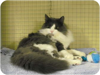 Domestic Longhair Cat for adoption in Mission, British Columbia - Riley