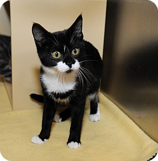 Domestic Shorthair Cat for adoption in Farmingdale, New York - Peanut