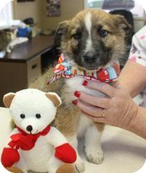 Collie/Shepherd (Unknown Type) Mix Puppy for adoption in Beacon, New York - Bob Barker