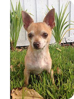 Chihuahua Mix Dog for adoption in Irvine, California - PANCHITO