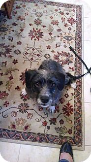 Cairn Terrier/Jack Russell Terrier Mix Dog for adoption in Franklinville, New Jersey - Jenny