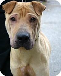 Shar Pei Dog for adoption in Marina del Rey, California - Drake