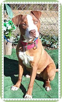 Pit Bull Terrier Mix Dog for adoption in Marietta, Georgia - VIOLET