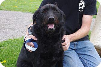 Standard Poodle/Labrador Retriever Mix Dog for adoption in Elyria, Ohio - Ellie Mae