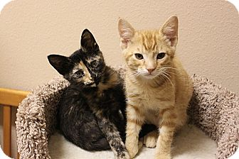 American Shorthair Kitten for adoption in Tampa, Florida - Apple Jack