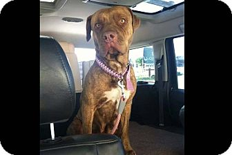 American Pit Bull Terrier/Mastiff Mix Dog for adoption in Rio Rancho, New Mexico - Ginger