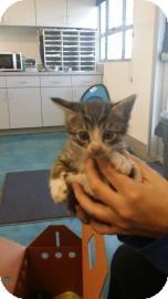 Domestic Shorthair Kitten for adoption in Belle Chasse, Louisiana - Bofart