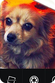 Chihuahua Mix Dog for adoption in Gilbert, Arizona - Dahlia