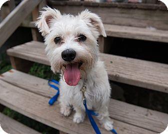 Miniature Schnauzer/Coton de Tulear Mix Dog for adoption in Wethersfield, Connecticut - Scribbles (Adoption Pending)