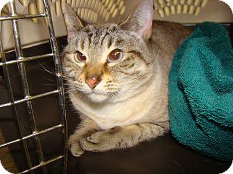 Domestic Shorthair Cat for adoption in Henderson, North Carolina - Winter