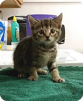 Domestic Shorthair Kitten for adoption in Albion, New York - Samson