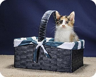 Domestic Shorthair Kitten for adoption in Wayne, New Jersey - Clementine