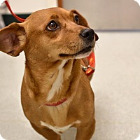 Adopt A Pet :: Cinnamon - Chesterfield, VA