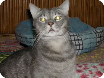 Domestic Shorthair Cat for adoption in Naples, Florida - Bill