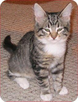 Maine Coon Kitten for adoption in San Antonio, Texas - Raney