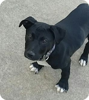 Labrador Retriever/Retriever (Unknown Type) Mix Puppy for adoption in Flower Mound, Texas - Shiloh