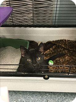 Domestic Shorthair Kitten for adoption in Richboro, Pennsylvania - Quasimodo