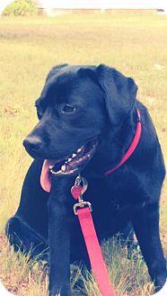 Labrador Retriever Dog for adoption in Worcester, Massachusetts - Magnificent Maddie